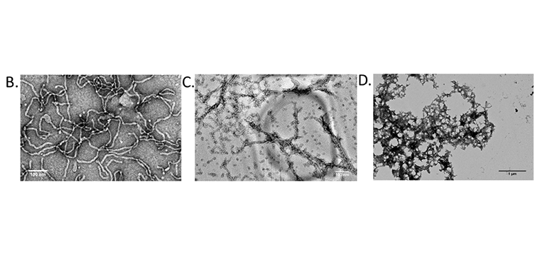 TEM images of the worm-like micelles formed by amphiphile 2 (B) and amphiphile 4 (C) and the aggregated structures formed by addition of cdGMP (D).