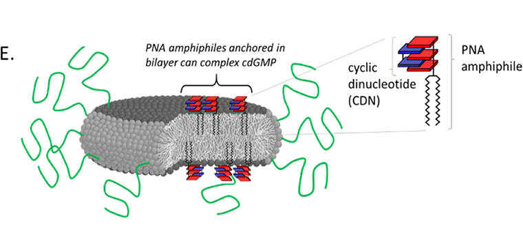 Schematic illustration of pegylated LNDs incorporating PNA amphiphiles.